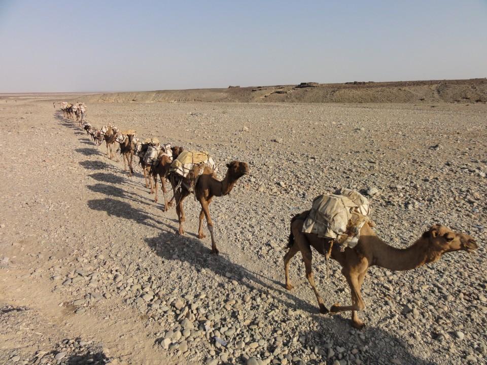 loaded camels caravan