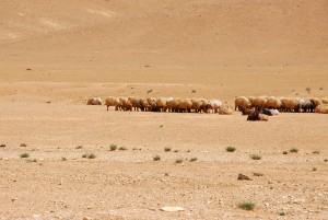 sheep in desert