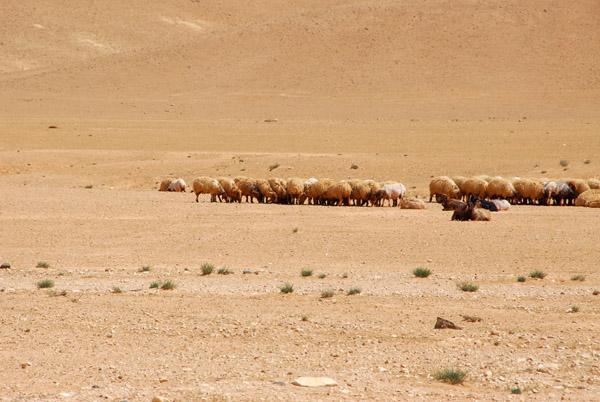 sheep in desert
