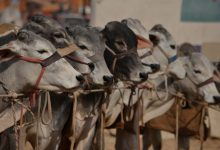 Why Do Muslims Kill Animals for Food?